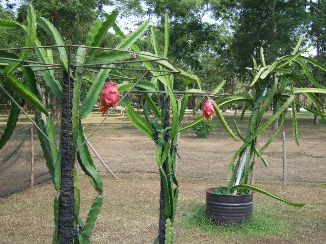 Pitaya Cultivo Hylocereus Undatus Cc Mekarsari Tourism