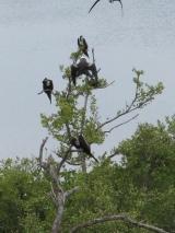 Cormorans in Contoy