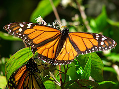 Monarch Butterfly (photo: A Castane)